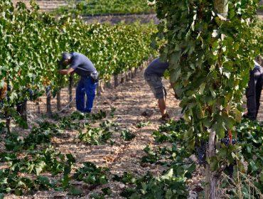 Consejos para realizar correctamente el deshojado de la viña