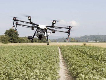 Primera prueba con un dron para sulfatar cultivos en A Limia