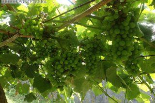 Areeiro advirte de que o tempo está a ser moi favorable para o mildio e o oídio nas viñas