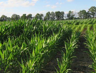 Investigacións galegas procuran millo e variedades de viñedo máis resistentes ós fungos