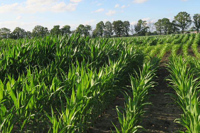 Esta explotación adica a maior parte das súas 60 hectáreas a pradeira e só bota 8 hectáreas de millo a carón da granxa