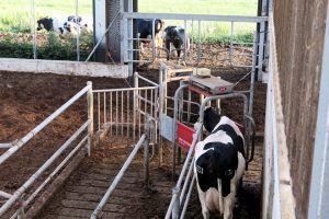 Un sistema automatizado permite ás vacas sair a pacer dúas veces ao día logo de pasar polo robot de muxido