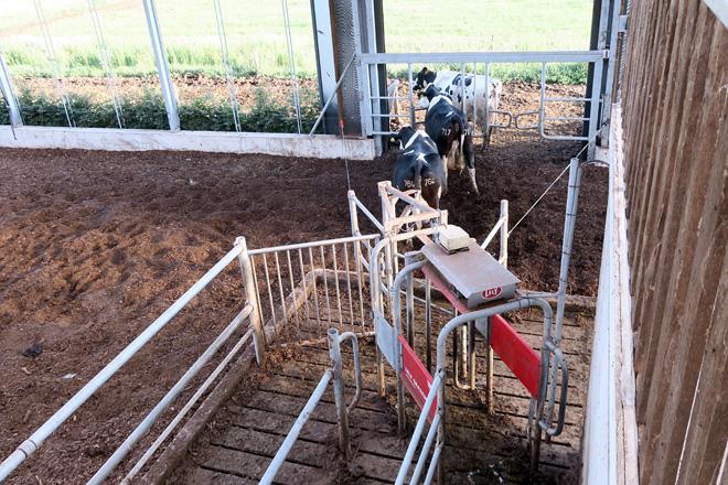 Un sistema automatizado permite sair ás vacas cara ao pasto ou derívaas de novo cara á zona do comedeiro