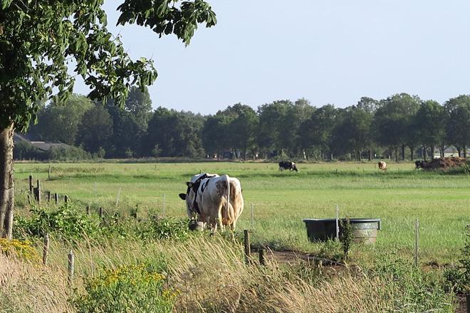 As vacas van soas á pradeira a medida que van saindo de muxirse