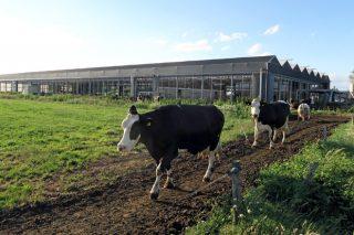 Menos vacas pero máis produtivas: a tendencia na maioría de países da UE trala fin das cotas