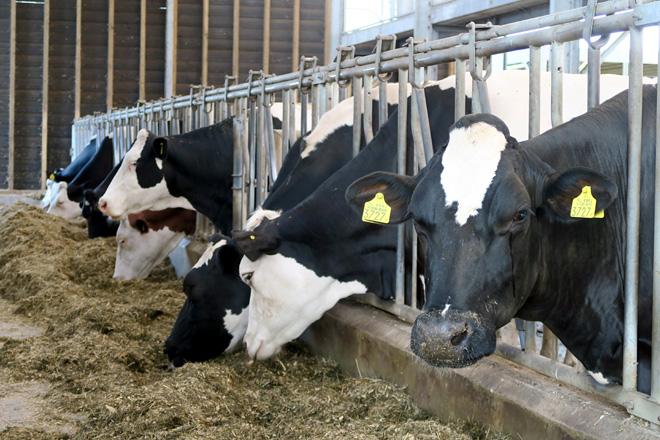 A zona de produción ten un apartado con trabantes para aquelas vacas que precisan ser tratadas