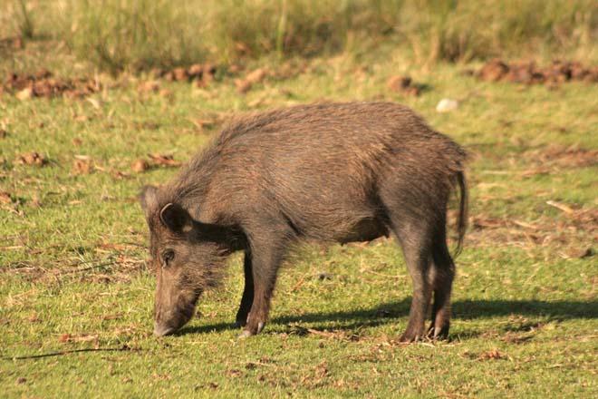 O 90% dos casos de animais con tuberculose en Galicia son de fauna salvaxe
