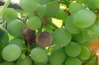 Cuidados del viñedo: Es necesario tratar contra la botritis