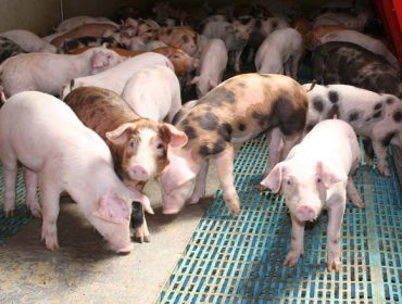 A nova normativa para as granxas de porcino: valoración do sector en Galicia