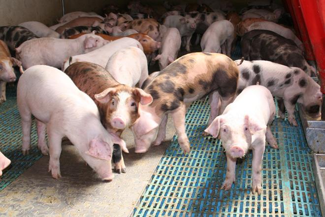 Granxa-porcino-SAT-El-Chope-_Cerdos-