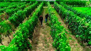Parte dos viñedos cos que elaboran o viño que empregan nos cosméticos.