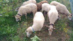 Ovejas-pacer-hierba-en la-venid-ADVID-Duero-
