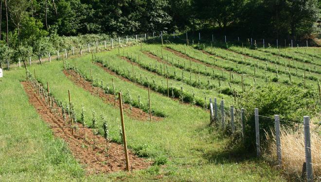 Platacion-experimental-de-manzanos-Valle-de-Sangorce-Agolada-Galitec-