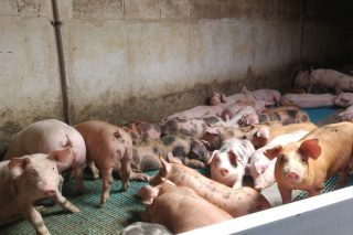 Nova baixada para o porcino en Silleda