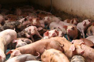 O prezo do porcino comeza a caer a causa da crise do coronavirus