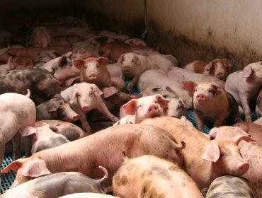 Piden incorporar a peste porcina aos seguros agrarios