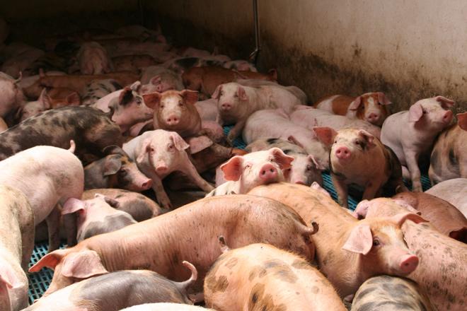 El precio del porcino comienza a caer a causa de la crisis del coronavirus