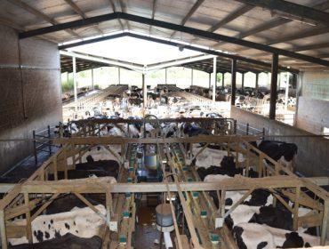 SAT Lixeiro: Camiño das 300 vacas en muxido e con 43 litros de produción