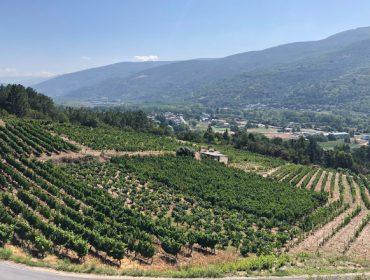 Dúas adegas de Valdeorras e outra de Ribeira Sacra, as primeiras en vendimiar en Galicia
