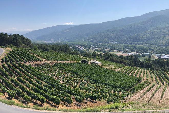 Dos bodegas de Valdeorras y otra de Ribeira Sacra, las primeras en vendimiar en Galicia