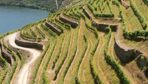 Viñedo en socalcos na ribeira do río Douro, en Portugal.