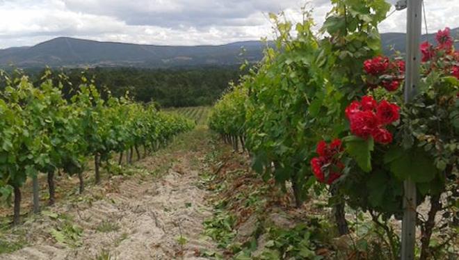 Un dos viñedos cos que elaboran os viños Quinta Soutullo.