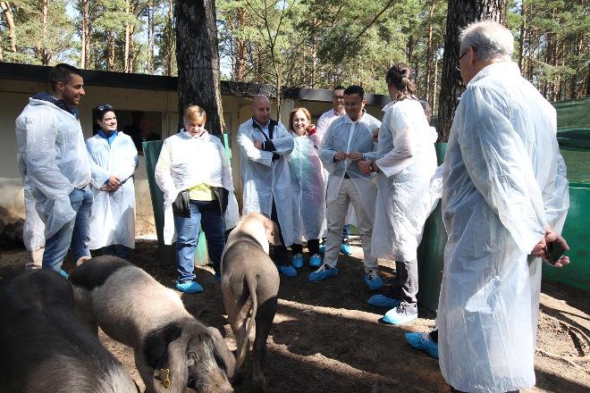 La Xunta seguirá fomentando la raza Porco Celta, como desbrozadora natural del monte