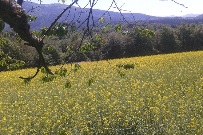 cultivo-colza-