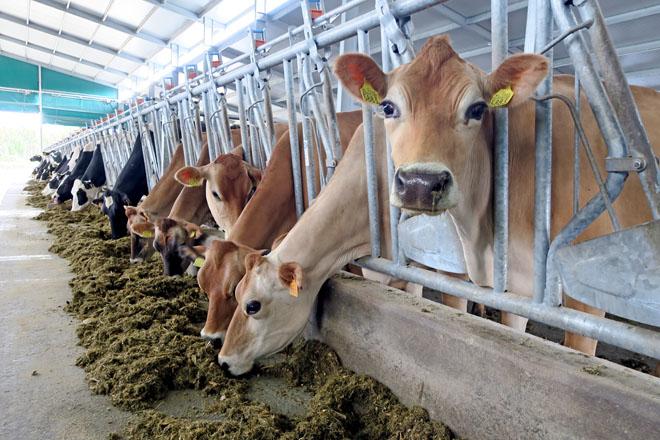 As vacas jersey comparten espazo neste momento coas frisonas aínda que separadas en dous lotes
