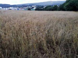 A Asociación planta unha finca de 3.000 metros de trigo para facer a malla