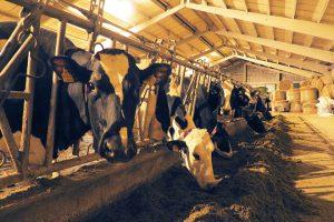 Ao facer directamente as tarefas agrícolas controlan todo o proceso de alimentación do gando