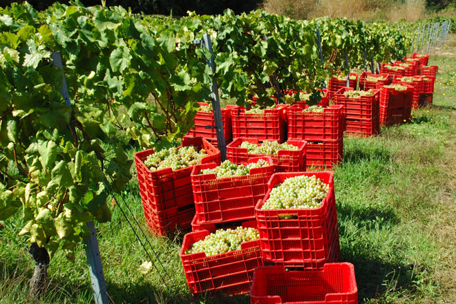 """La DO. Ribeiro autoriza un incremento del 25% de los rendimientos ante una cosecha que se prevé """"excepcional"""""""
