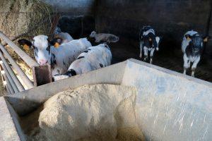 Os becerros están en lotes e comen penso e herba seca