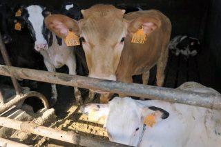 Agricultura pide que Europa active medidas de apoio para o vacún de carne
