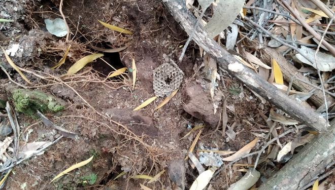 Agujero-realizado-por-abejero-europeo-para-extraer-celdas-de-vespa-velutina-