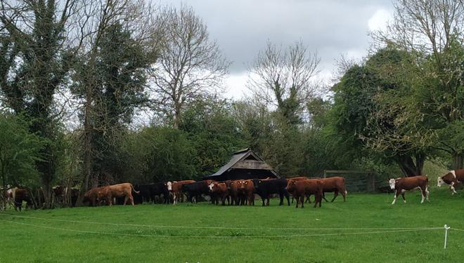 Ganderia-Irlanda-Mills-Farm-vacun-