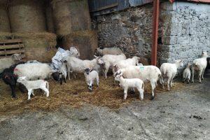 Ganderia-ovino-Irlanda_-