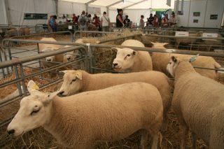 Últimas tendencias no sector ovino en Francia