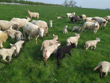 225 gandeiros de ovino e caprino recibiron axudas da Xunta pola caída de vendas provocada pola Covid19