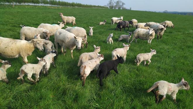 Ovellas-e-cordeiros-no-pasto-Irlanda-