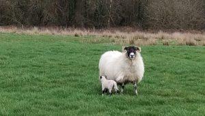 A súa estadía coincidiu coa época de partos das ovellas, unha das épocas con máis carga de traballo.