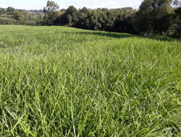 Xornada informativa sobre o pasto siambasa como alternativa forrajera