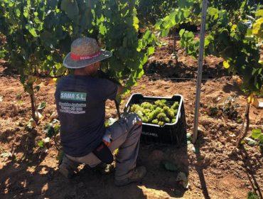 Valdeorras pecha unha das vendimas máis abundantes, con 6,7 millóns de quilos de uva recollidos