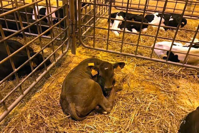 Gando de recría declarado non apto na inspección veterinaria no mercado de Amio