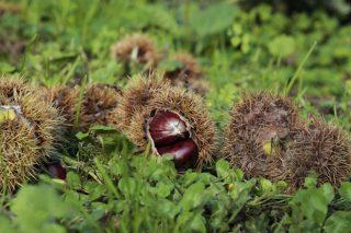 La cosecha de castaña cae un 25% por la avispilla y la sequía