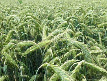 Colza e centeo híbrido, dous cultivos con potencial en Galicia