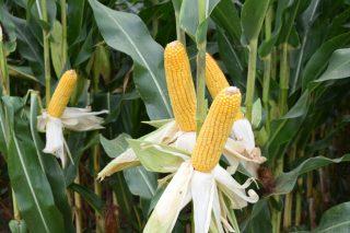 Acceleron, a nova solución integral de Dekalb para as sementes de millo