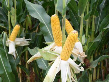 Acceleron, la nueva solución integral de Dekalb para las semillas de maíz
