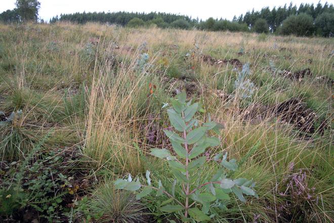 Plantación de eucaliptos nunha pradeira en Begonte