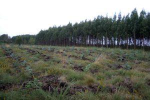 Plantación de eucaliptos feita nas pradeiras do monte comunal